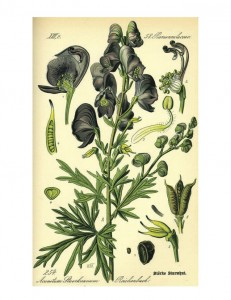 Homeopathic remedy: Aconitum napellus (Aconite)