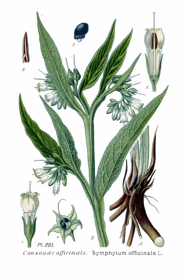 Zettl Homeopathy's Spotlight on Remedies Symphytum officinale