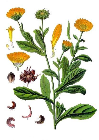 Zettl Homeopathy Calendula offinalis