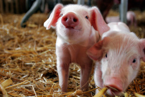 Antimicrobial use in food-producing animals