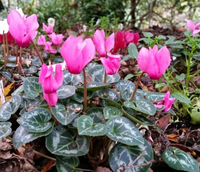Cyclamen europeum for women's health
