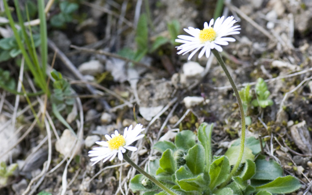 Remedy spotlight: Bellis perennis for overexertion