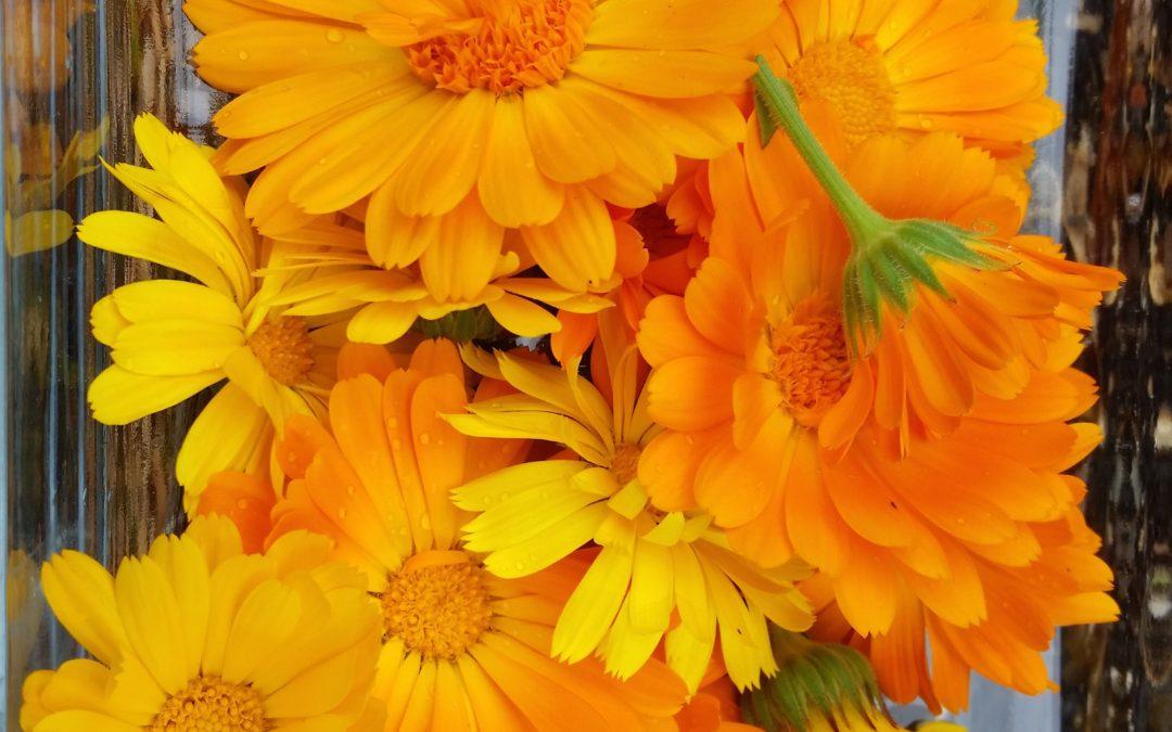 Calendula flowers from Zettl Homeoapthy's gardens